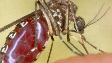 Photo de Peu de chance d'échapper à un moustique affamé
