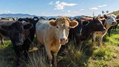 Photo of Réchauffement climatique : 30% de méthane en moins chez les vaches grâce à un complément alimentaire