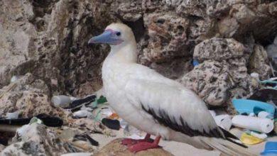 Photo de Pratiquement tous les oiseaux marins auront avalé du plastique d'ici 2050