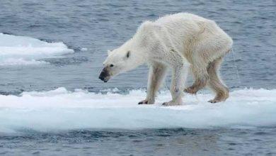 Photo of Réchauffement climatique : un ours famélique émeut les réseaux sociaux