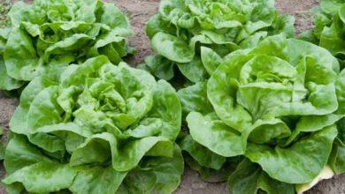 Nous mangeons des salades qui contiennent des pesticides interdits et dangereux !
