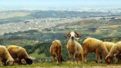 Photo de Les mouvements des moutons pour étudier le cerveau humain !