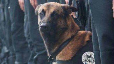 Diesel, chienne d'assaut du Raid tuée à Saint-Denis