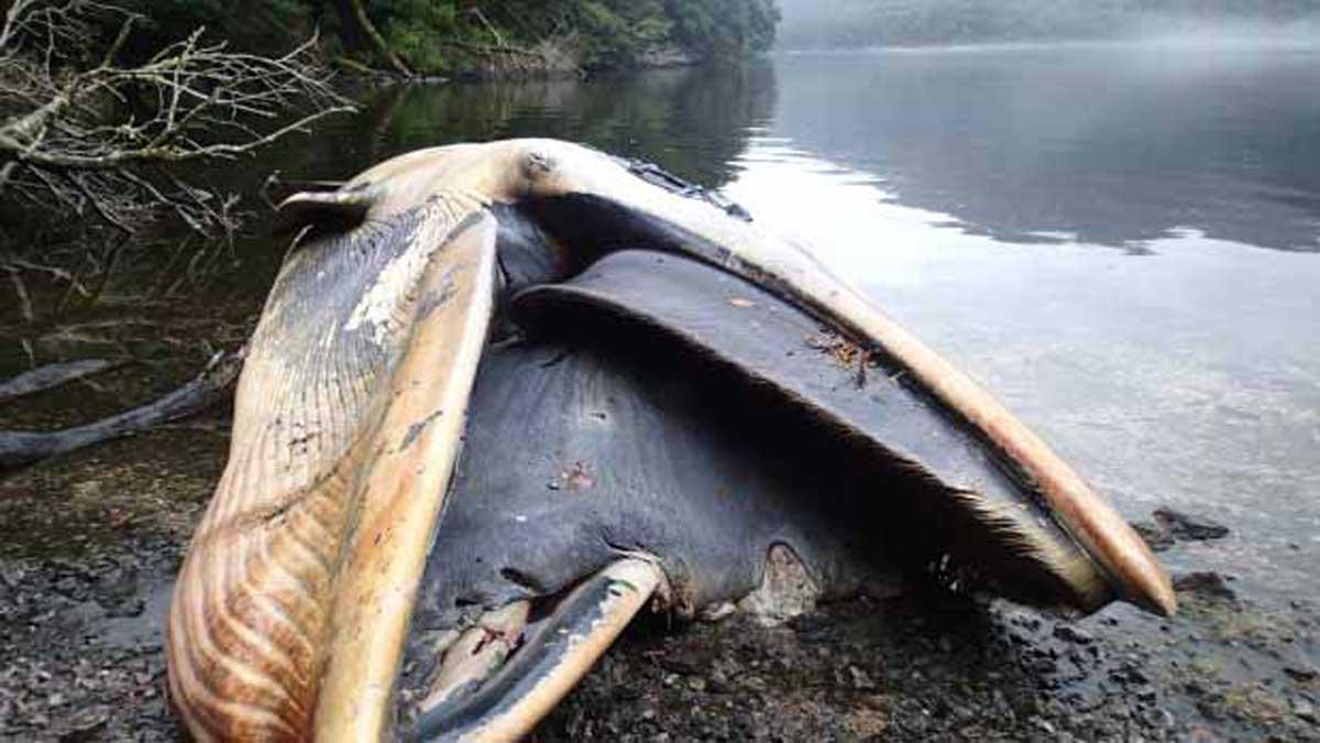 Plus de 337 baleines mortes dans un fjord isolé de la Patagonie chilienne