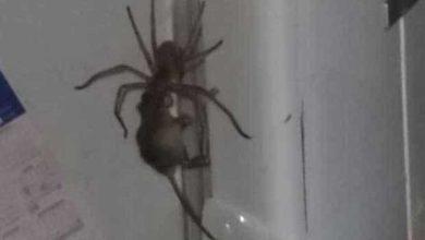Photo de 22 millions de vues pour la vidéo d'une araignée géante traînant une souris