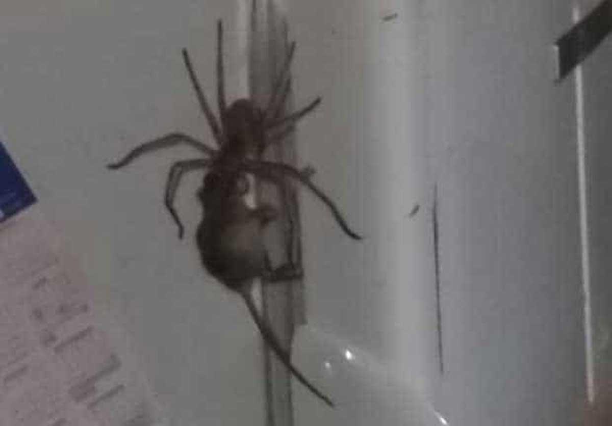 Une vidéo montrant une araignée géante traînant une souris a été vue 22 millions de fois