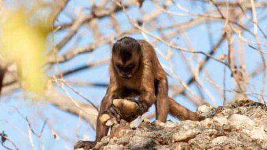 Photo de Des singes du Brésil savent produire des éclats de pierre tranchants