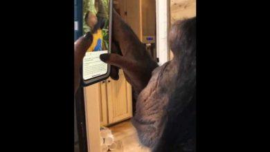 Photo de Regarder ce chimpanzé parcourir Instagram sur un iPhone comme un être humain