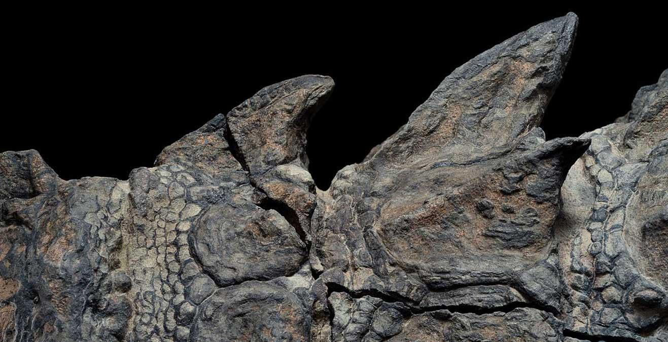 Les plaques de marque des dinosaures blindés tombaient généralement au début de la décomposition, un sort qui n'est pas arrivé à ce nodosaure. Cette armure remarquablement préservée permettra aux scientifiques de mieux comprendre à quoi ressemblaient les nodosaures et comment ils se déplaçaient.
