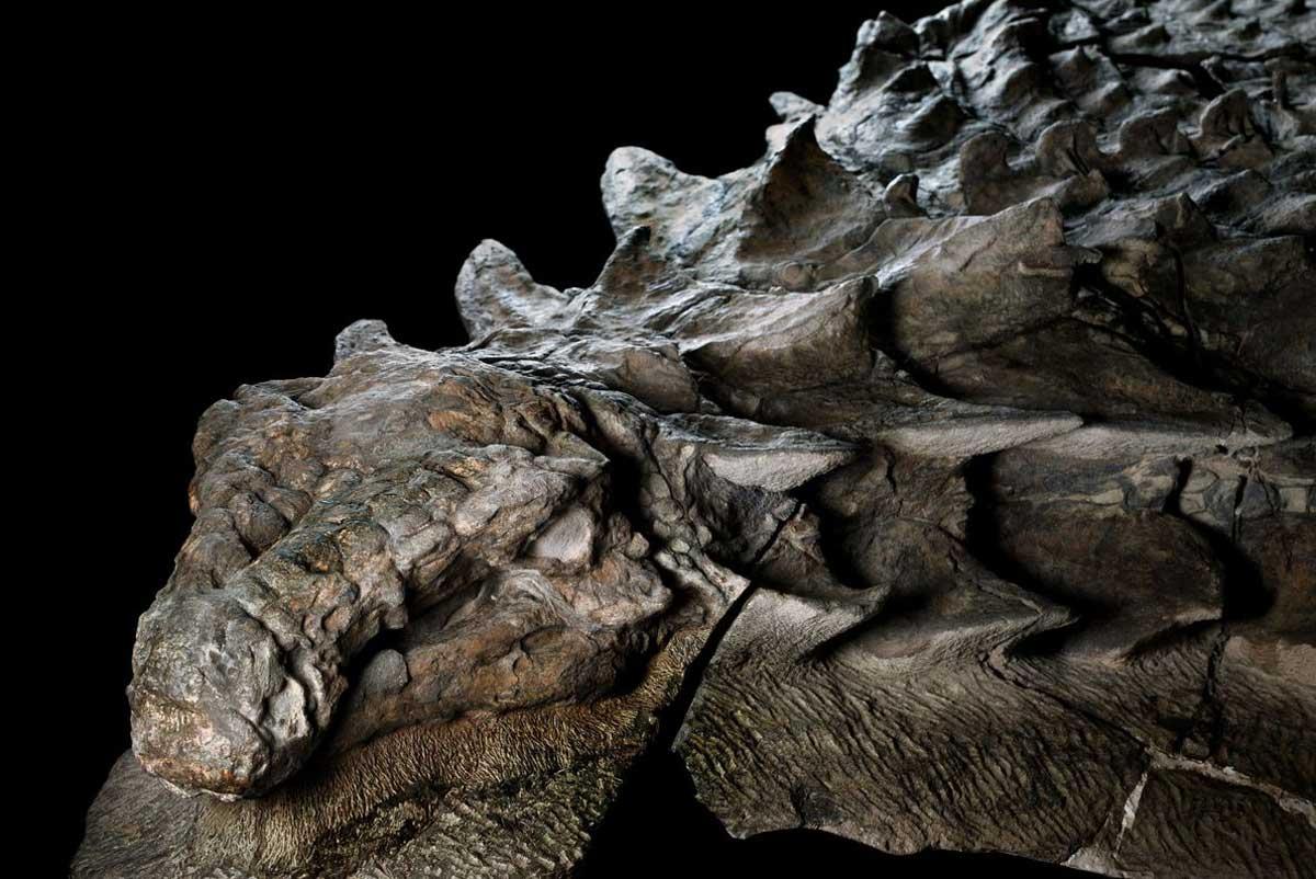 Il y a quelque 110 millions d'années, ce phytophage blindé a traversé ce qui est aujourd'hui l'ouest du Canada, jusqu'à ce qu'une rivière inondée le balaye en pleine mer. La sépulture sous-marine du dinosaure a préservé son armure dans ses moindres détails.