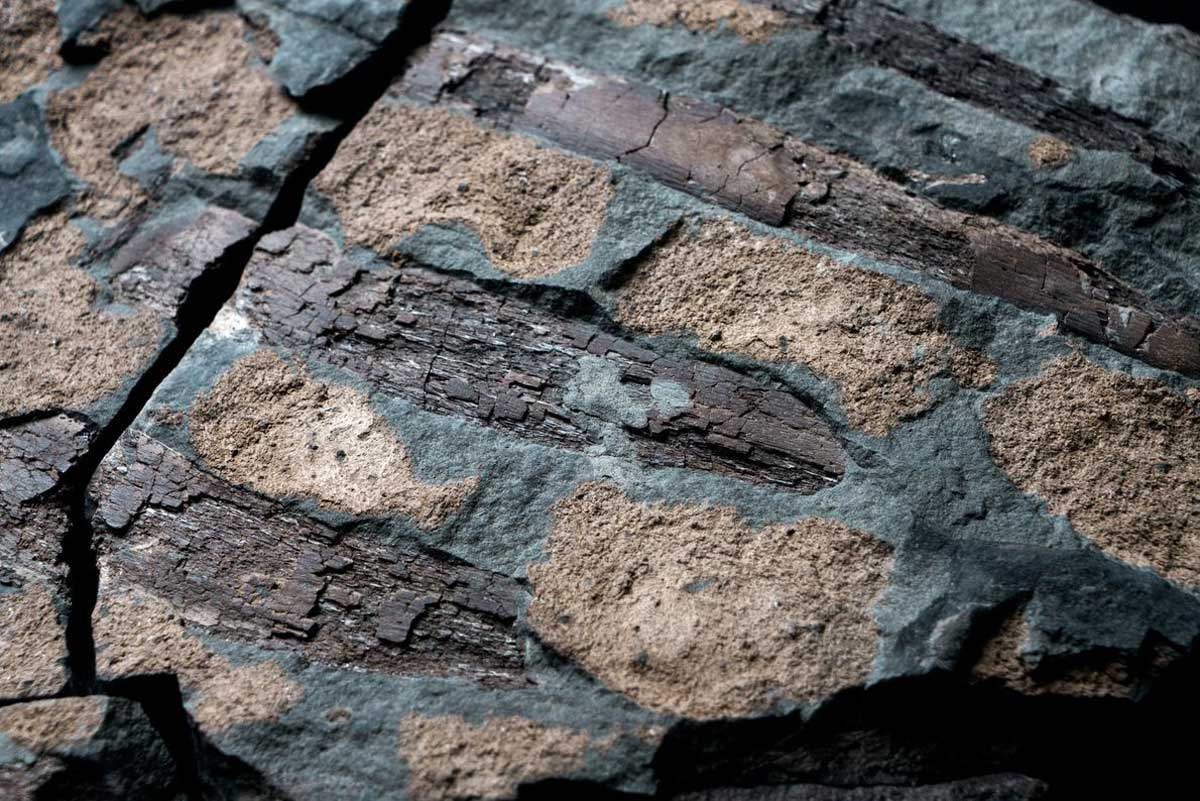 Sur le torse du nodosaure, des côtes brun chocolat côtoient des ostéodermes bronzés sur fond de pierre grise gunmetal.