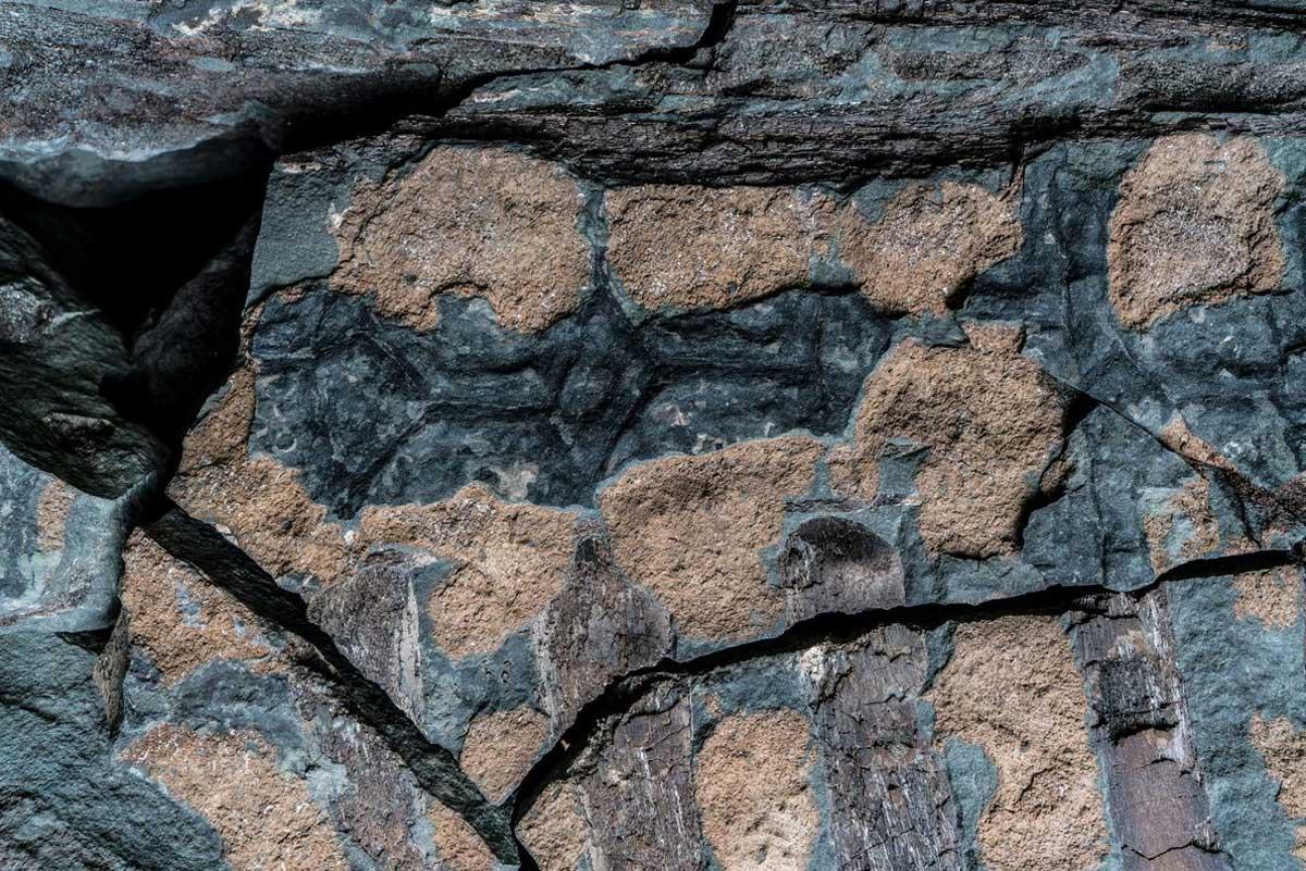 Sur le torse du nodosaure, des côtes brun chocolat côtoient des ostéodermes bronzés et des écailles gris foncé. Les tendons qui soutenaient autrefois la queue du dinosaure (en haut) longent sa colonne vertébrale, préservés sous forme de bandes brun foncé ressemblant à des saccades.