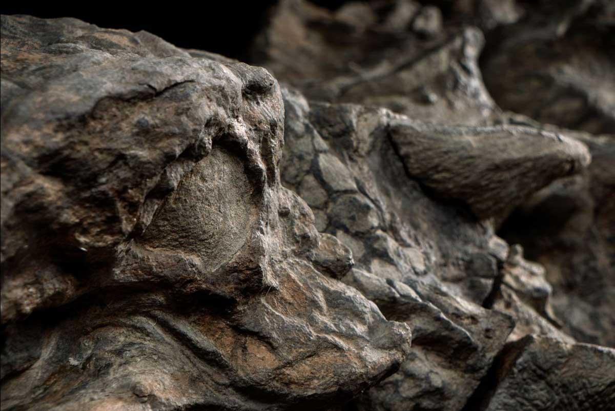 Le nodosaure semble avoir un effet d'éblouissement, produit par l'orbite du fossile qui a été délicieusement préservée.