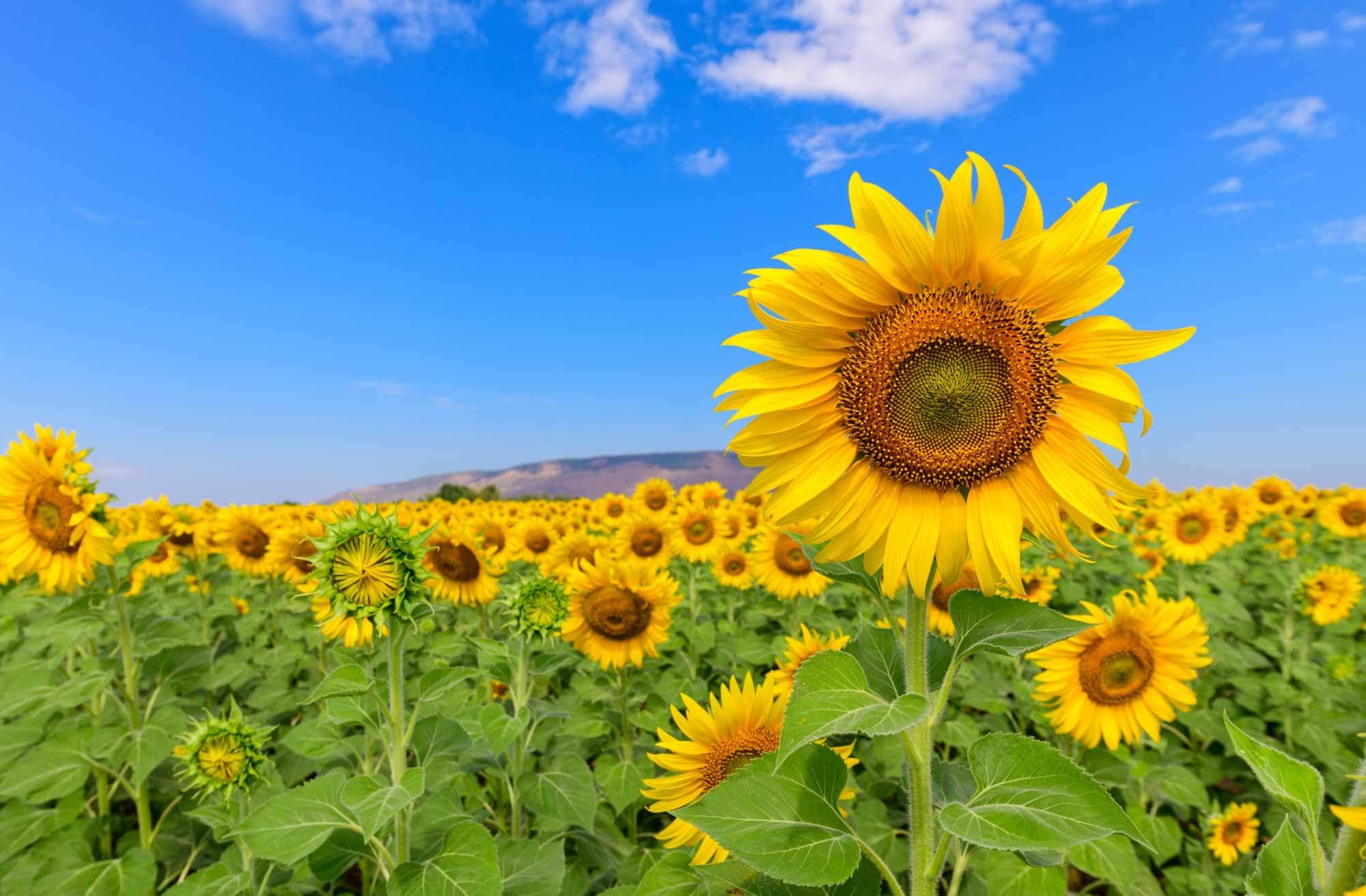 Un beau champ de tournesols en été avec un ciel bleu