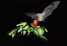Chauve-souris frugivore